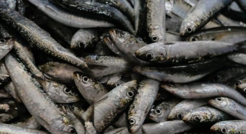 Pesca Sardinha